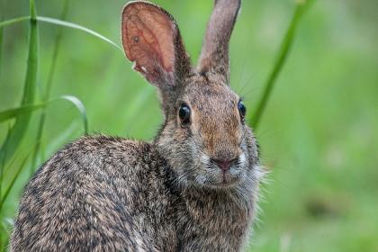 swamp-rabbit