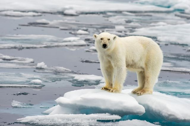 polar-bear-on-ice-838x0_q80